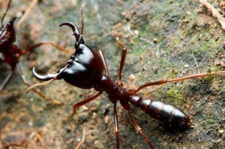Karınca Türünün En Yırtıcı Avcısı: Sürücü Karıncalar!
